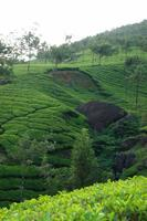 A-Tea-Plantation-in-Munnar.jpg