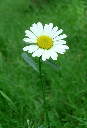 daisy a history of information accessibiliy  case studies, Beautiful flower